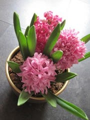 Pink hyacinths forced to bloom (Tomylees)