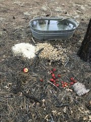 Food and water left for a black bear by Pinetop-Lakeside woman