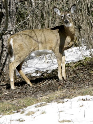 Chronic wasting disease has never been found in Vermont, New Hampshire and Maine, and biologists hope the single case discovered in a captive deer just north of Montreal can be contained through aggressive monitoring.