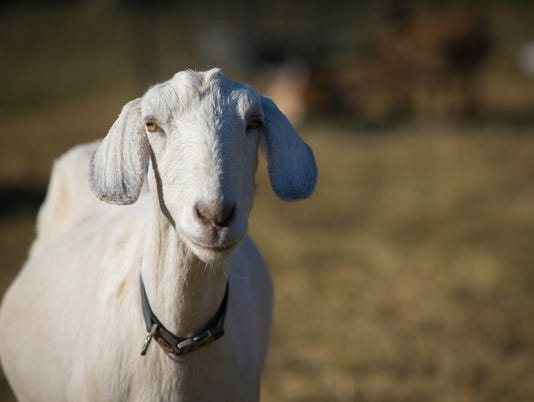 News: Innovate Goats