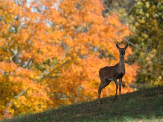 A deer on the Natchez Trace Parkway during Fall.