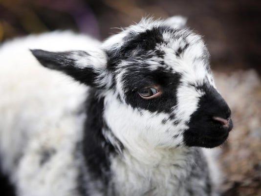 -lead SAL0326-Lambs 4813.jpg_20140325.jpg