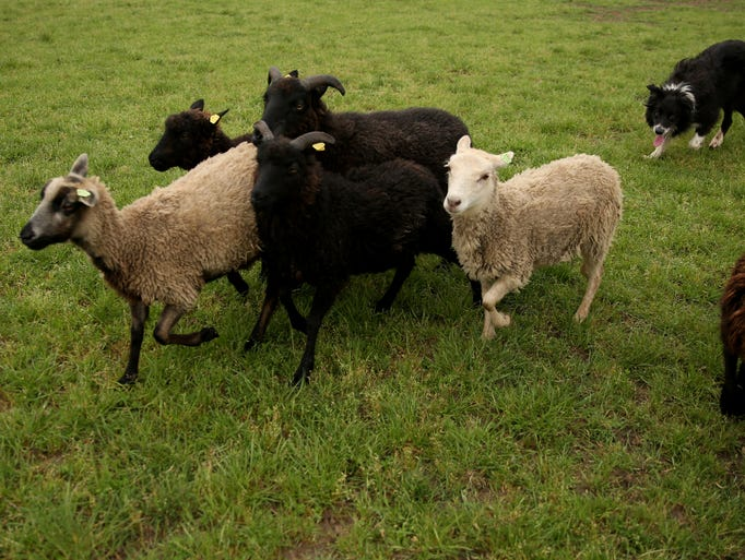 The Asp!, a 4-year-old border collie, herds sheep before