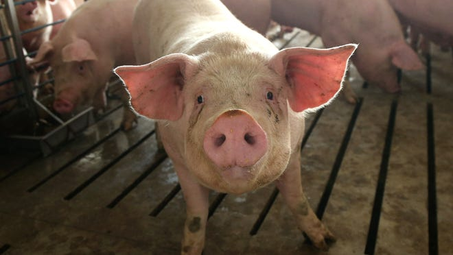 The environmental impact of raising pigs has dropped dramatically because it now takes less land and less water to raise a pound of pork than ever before.