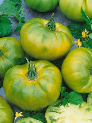 Tomato Chef's Choice Green F1:  Empress your foodie friends with the citrus-like flavor and perfect texture of Tomato Chef's Choice Green F1.