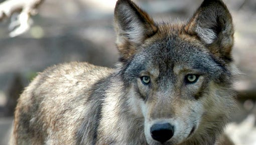 In this July 16, 2004, file photo, a gray wolf is seen at the Wildlife Science Center in Forest Lake, Minn. Pressure is building in Congress to take gray wolves in the western Great Lakes region and Wyoming off the endangered list — and to prevent the courts from reversing that decision again. Representatives from Minnesota, Wisconsin, Michigan and Wyoming wrote to House Speaker Paul Ryan on Wednesday, Feb. 22, urging a fast floor vote before calving and lambing season begins in earnest.