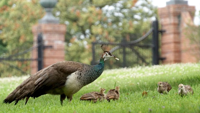 A peahen finds a dead cicada and feeds it to her chicks Thursday morning inside the gates of Kingwood.