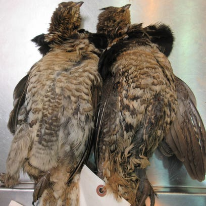 The bird on the left tested negative for West Nile