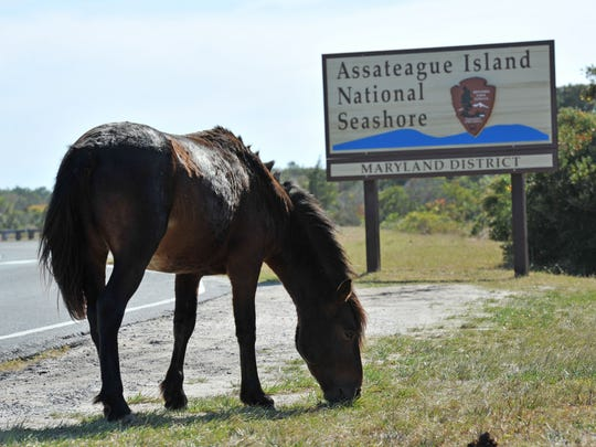 An Assateague pony grazes on the grass near the welcome sign to Assateague Island National Park.