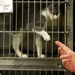 Dr. Tom Powell plays with a cat at Lee County Domestic Animal Services in 2011. A woman in San Carlos Park surrendered 69 cats to the agency after anonymous complaints to authorities.