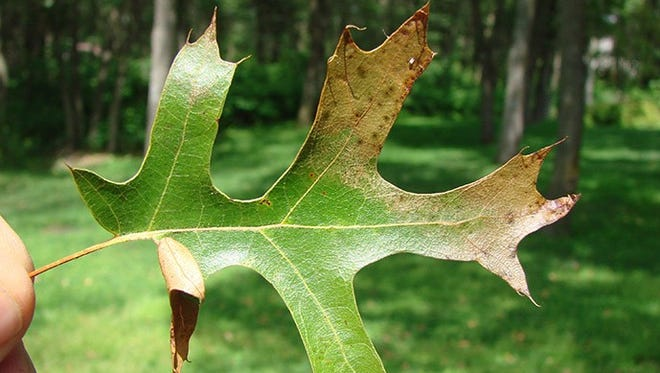 Oak wilt, which is caused by a fungus, starts in the outer crown and moves inward.