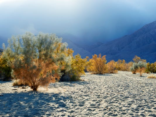 636507554928328519-DesertMagazine-SmokeTrees-MHarvey-0414.jpg