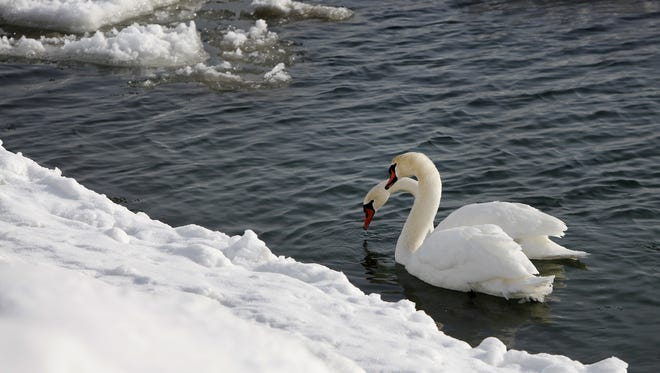 Mute swans float in the icy waters of Lake Ontario in Irondequoit.