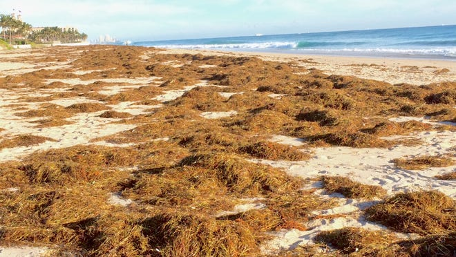 Palm Beach was a awash in weeds after storms in late January. A Florida Atlantic University expert said the vegetation is manatee grass, possibly washed out of Florida Bay that got caught in the Gulf Stream.