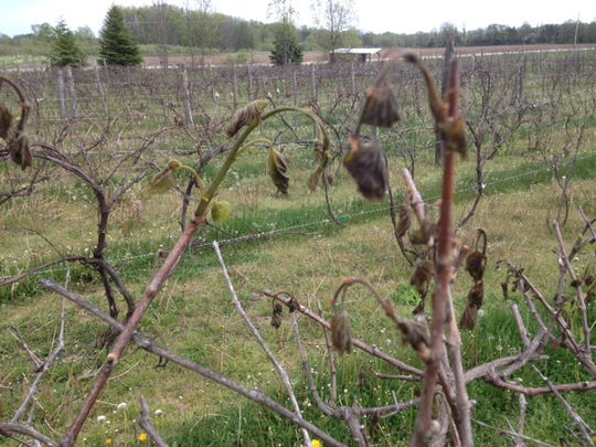Grape leaves at Trout Springs Winery are curled up on their vines following two hard frosts this week. Growers are hoping secondary growth this summer will mitigate the damage.