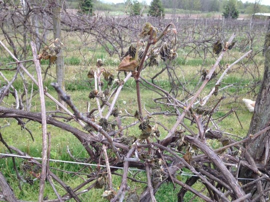 Grape leaves at Trout Springs Winery near Wayside are curled up on their vines following two hard frosts this week. Growers are hoping secondary growth this summer will mitigate the damage.