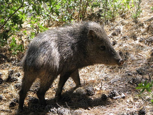 Dog attacked by javelina on South Mountain