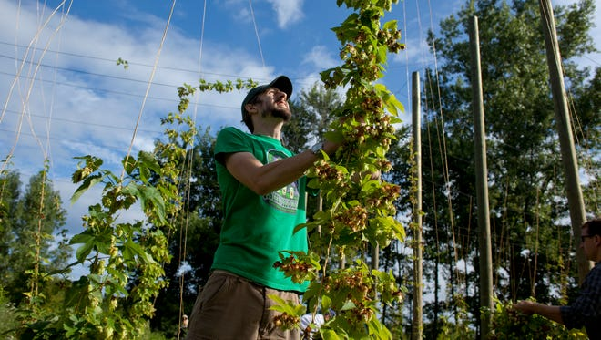 Corey Nebbeling, head brewer at ThumbCoast Brewing Company, pulls down some bines of brewers gold hops at American Patriot Hops in Smiths Creek.