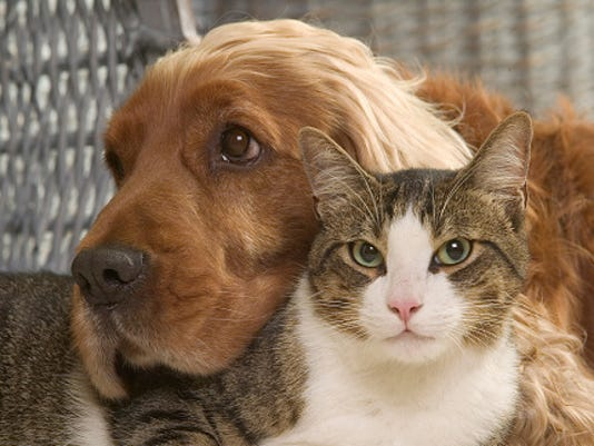 Cocker spaniel relaxing with a cat, Canis familiaris