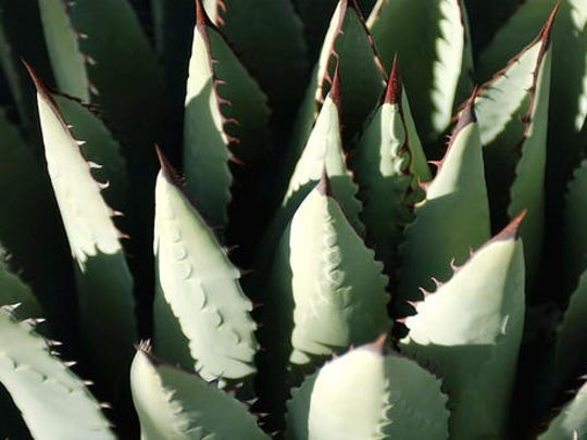 FILE--In this May 12, 2004, file photo, the late afternoon sun highlights the leaves of an agave plant in Alamogordo, N.M. US wildlife officials say it might be time for a toast now that a once-rare bat important to the pollination of the Mexican plants used to produce tequila is making a comeback. The U.S. Fish and Wildlife Service is proposing to remove the lesser long-nosed bat from the endangered species list.