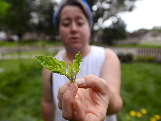 Ren Weiner of Winooski, owner of missweinerz.com and maker of those great donuts and other baked goods sold all over town, holds up a sprig of lamb's quarters in her home garden. Most people identify the plant as a weed, but Weiner savors it and says it has more nutrition than spinach.