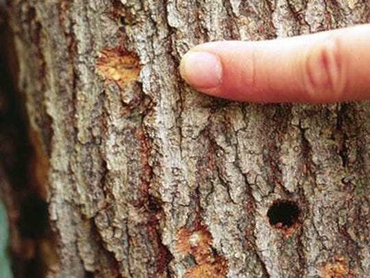 The beetles chew depressions in tree trunks and branches to lay eggs. The following summer, adult beetles emerge from trees by boring round holes.
