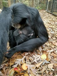 The name and gender of a baby siamang born at Greenville