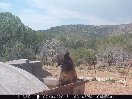 636496382419105544-Trail-Cam-Bear.JPG