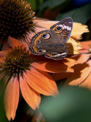 A Common Buckeye Butterfly is just one of many butterflies that will visit the Color Coded Orange You Awesome coneflowers. See more photos with this column at SavannahNow.com/accent/columnists.