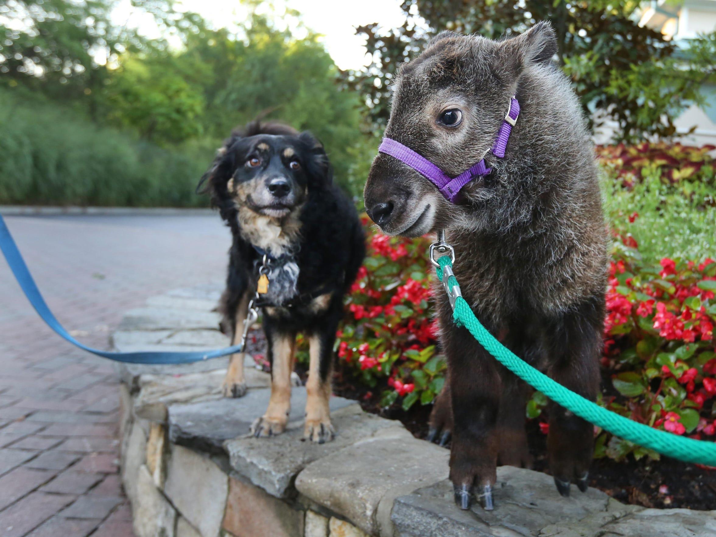 July 20, 2015. Zoo, nanny, takin, dog, Liz Dufour