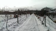 Mother Nature kept it cold last week for Casa Larga's ice wine harvest in Perinton.