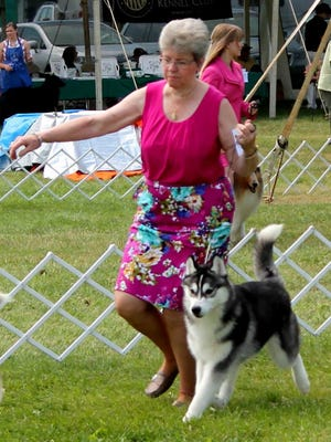 Jean Edwards showing Twister, a 6-month-old Siberian husky, at an all-breed dog show.