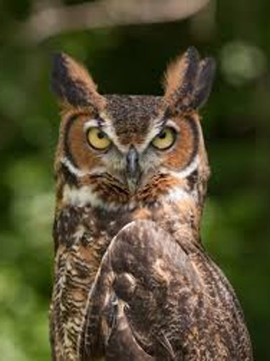 635821665755422055-great-horned-owl