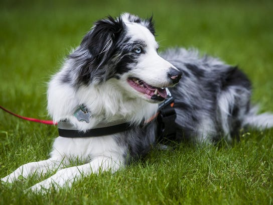 Gracie, a now 3-year-old border collie, is Glacier