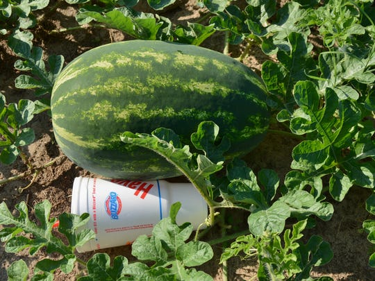 Melvin Rutherford said this watermelon was the size of the Styrofoam cup six days earlier.