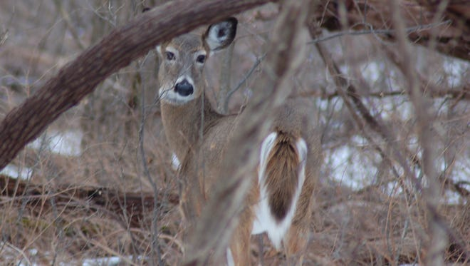 During the second week of the season, a deer's esnes are keener than at any time.