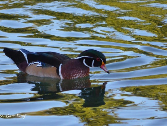 A Wood Duck was only the fourth ever recorded during