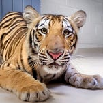 Potential Mike VII arrives on LSU campus