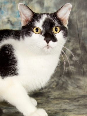 Panda is available for adoption with Friends for Life at 952 W. Melody Ave. For more information,call 480-497-8296, email FFLcats@azfriends.org or visit azfriends.org.