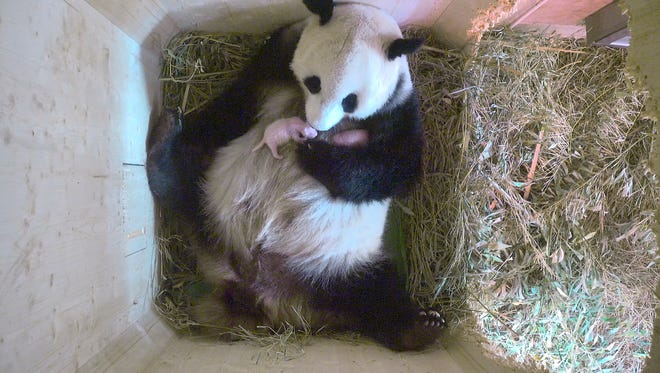 In this Aug. 15 still from video provided by Tiergarten Schoenbrunn in Vienna, Yang Yang the panda cradles her new cubs. It turns out that the giant panda that gave birth at Vienna's Schoenbrunn Zoo last week was hiding a tiny little secret, an extra cub.