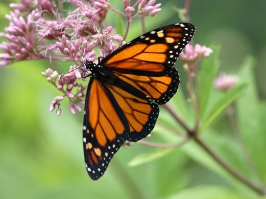 Learn about monarch butterflies at Blue Ghost Brewing