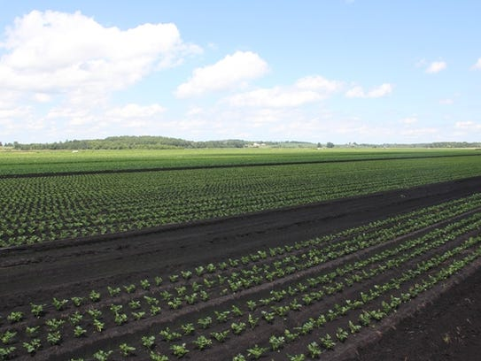 Trembling Prairie Farms started with 3 acres of celery