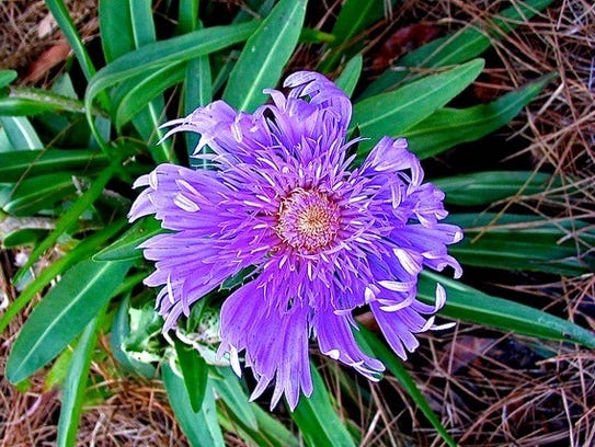 Stokes Aster is one of the plants at the Goodwood spring