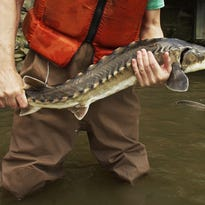 Atlantic sturgeon: Hudson River's largest fish