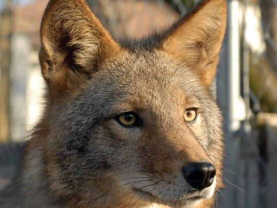 Coyotes, like the one pictured, are suspected in the recent fatal attack on a small dog in Farmington Hills.