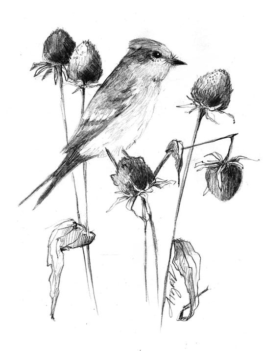 TOS_Phoebe_with_seed_heads