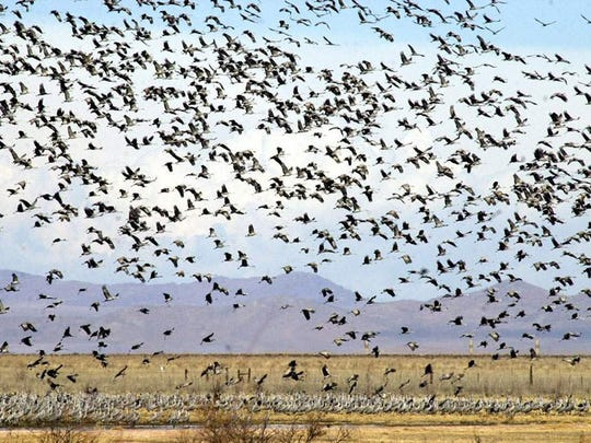 Thousands of sandhill cranes prepare to land near the