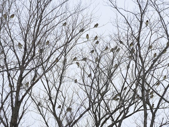 Cedar waxwings sit in the trees Tuesday, Dec. 29 in