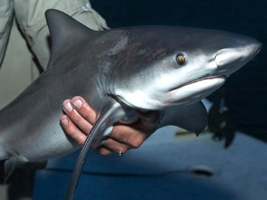 Learn about sharks during a Friday talk at  Lovers Key State Park, in  Fort Myers Beach.