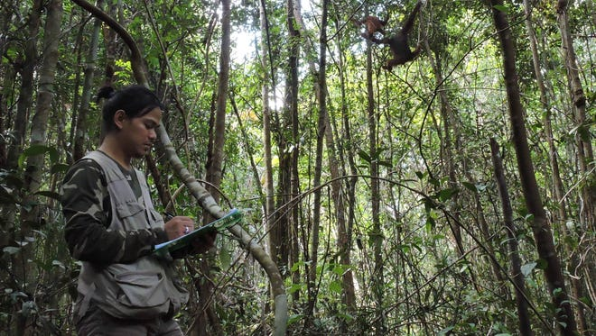 Rutgers doctoral student Didik Prasetyo collecting data on orangutans in the Tuanan Orangutan Research Station in the Mawas Conservation Area in Indonesia.